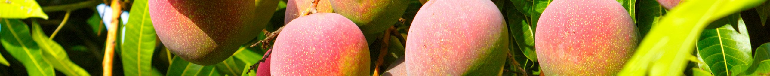mango banner - website